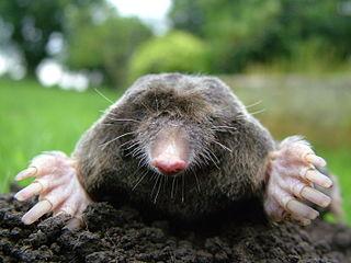 320px-Close-up_of_mole