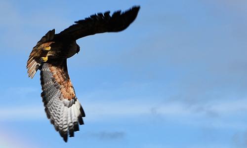 Speak No Evil: The Red-Tail Hawk